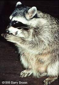 lactating female raccoon © Barry Brown